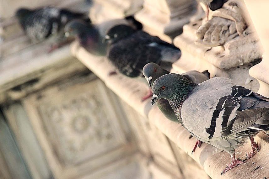 depigeonnage nuisibles nice